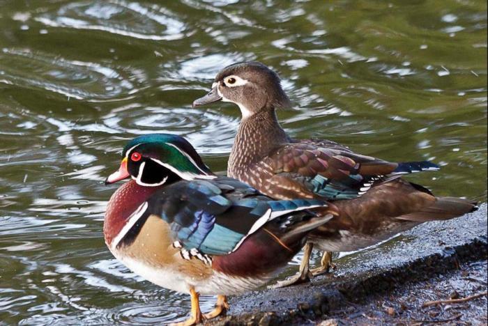 wood-duck-pair-ii_resize02