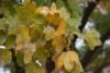 Hedge maple (Acer campestre)2